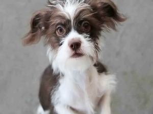 denver animal shelter, terrier